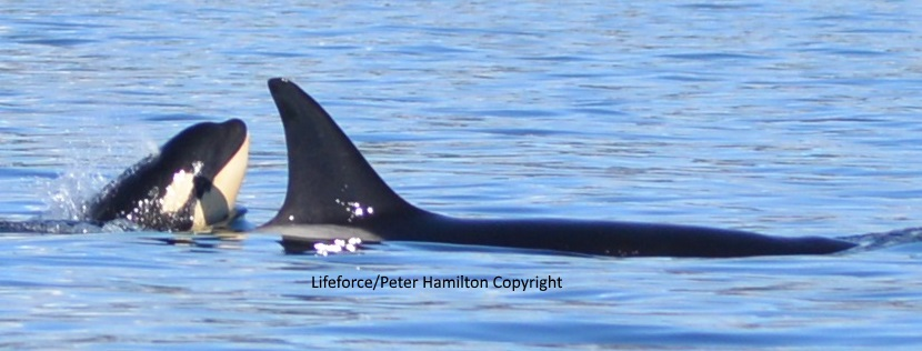 Lifeforce Ocean Friends Visit Orca Family With 2 Babies
