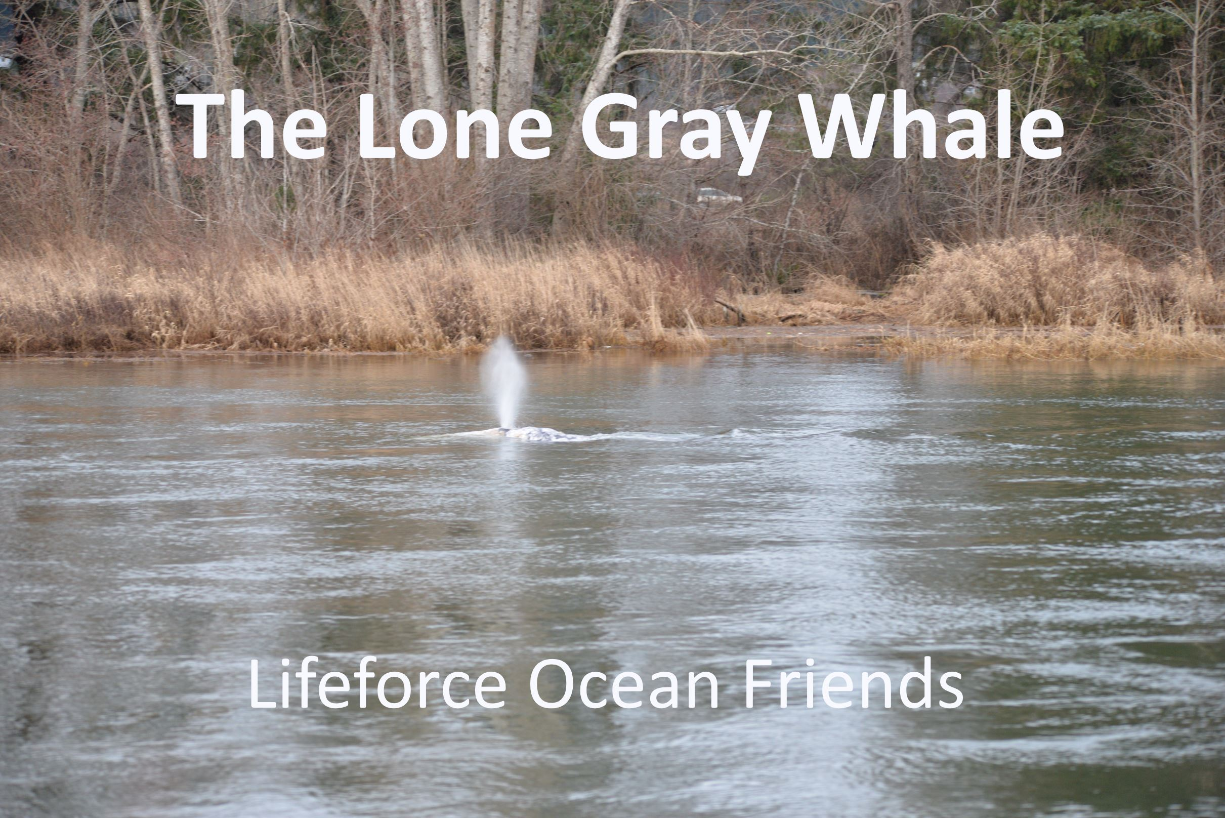 The Lone Gray Whale