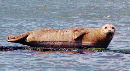Native Seal Kills On The Fraser Raise Questions