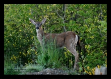 Stop Kimberley Deer Kill Plan