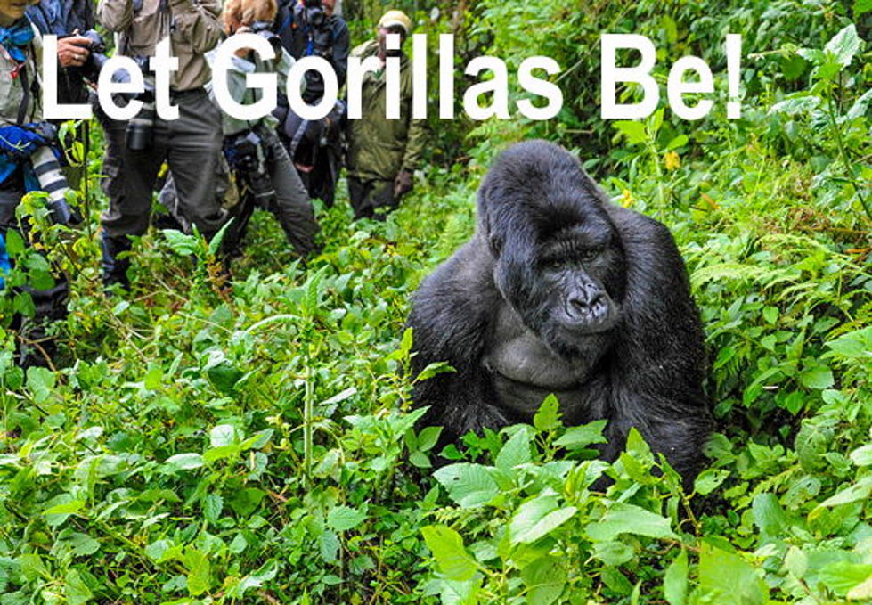 Covid-19 And Other Threats To Gorillas!