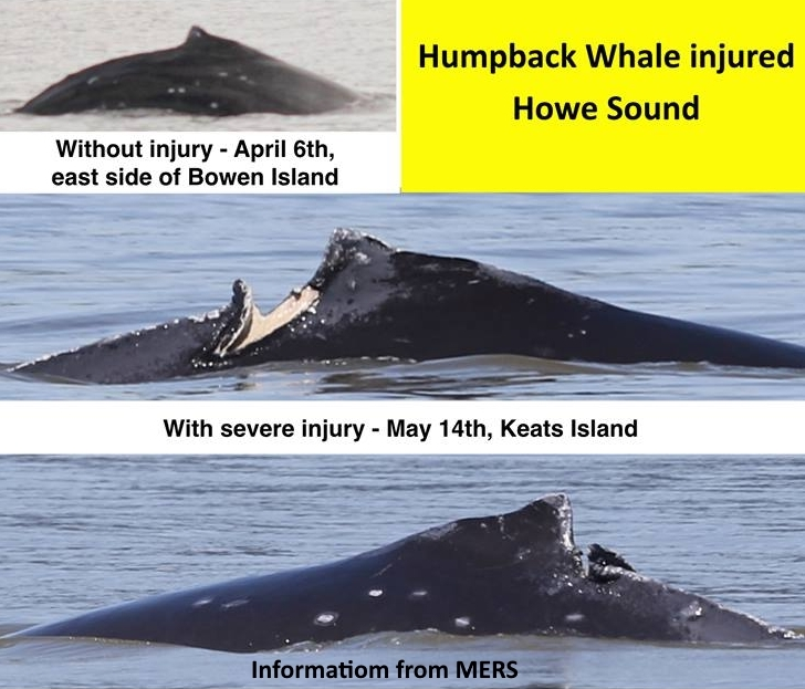 Humpbacks Need Your Help!