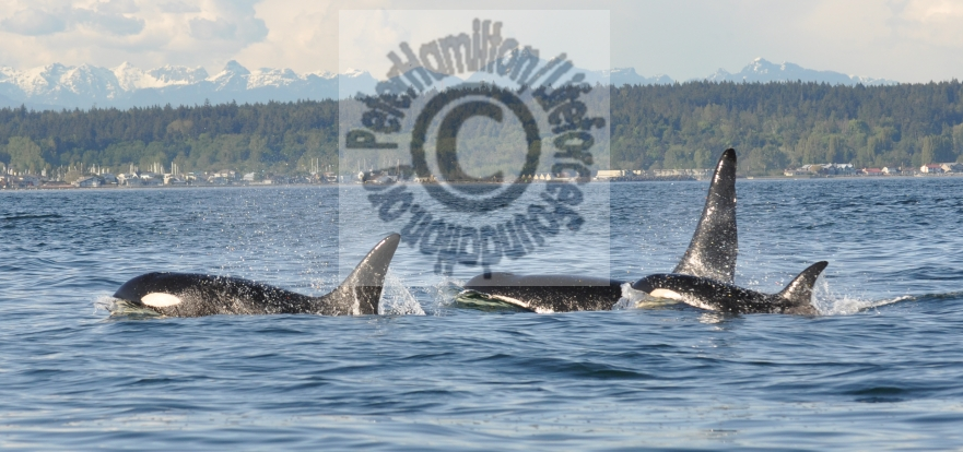 Lifeforce Public Comments Re: Boat Traffic Harrassment Of Orcas