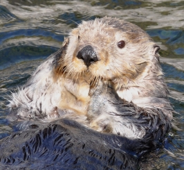 Help Stop The Sea Otter Slaughter