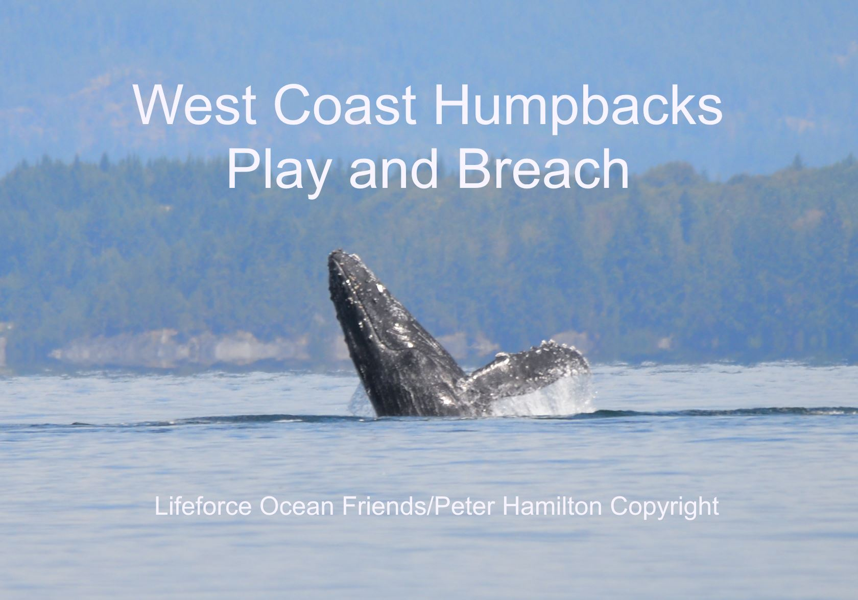 West Coast Humpbacks Play And Breach!
