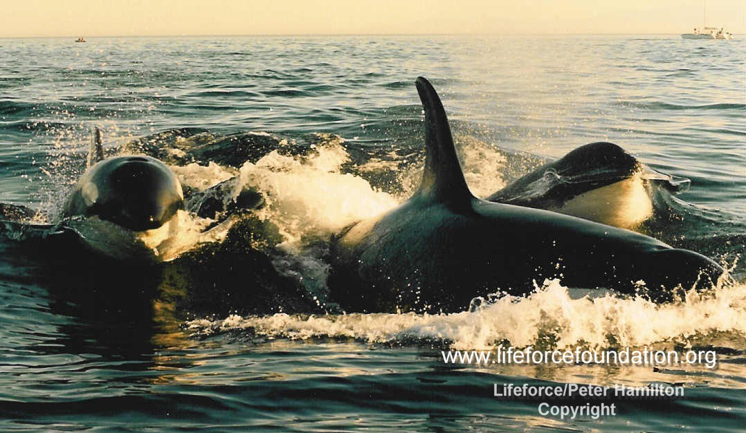 Orca And Marine Wildlife Protection